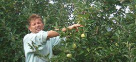 Smanjeni prinosi jabuka